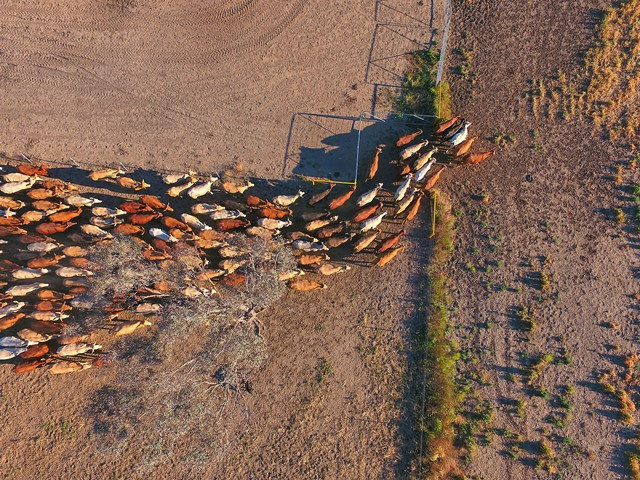 Outback cattle herd seen from above